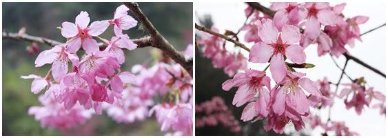 杉林溪森林生態渡假園區/杉林溪/楓葉/櫻花