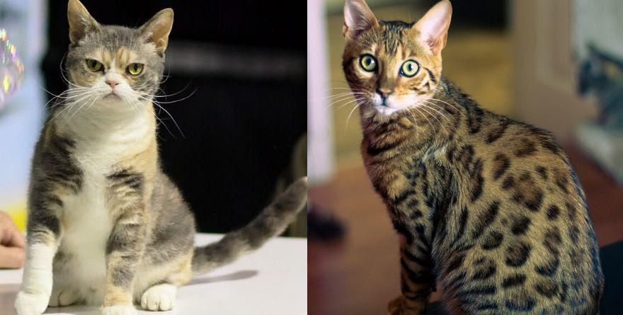 Things That You Need To Know About The Different Domestic Cat Breeds The Cute Cats
