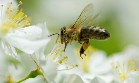 A bee hovers over a cherry blossom in Stuttgart, Germany