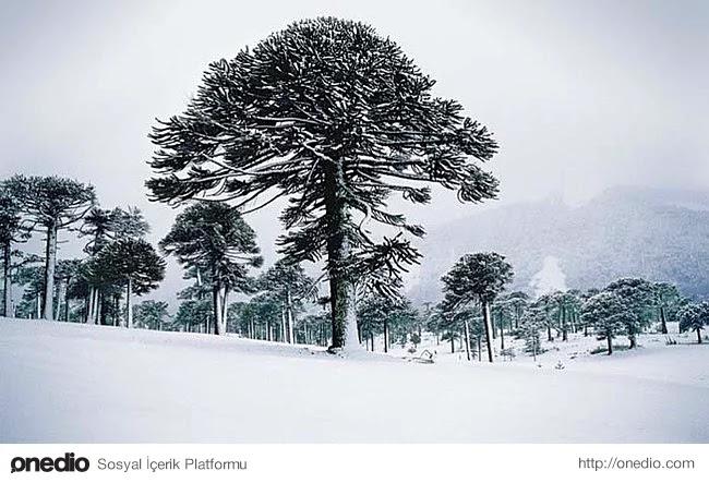 2. Eşi benzeri olmayan bir ağaç; Şili arokaryası