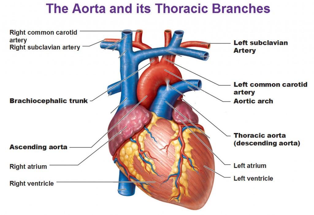 aorta and its thoracic branches descending aorta brachiocephalic trunk common carotid artery subclavian 1024x700