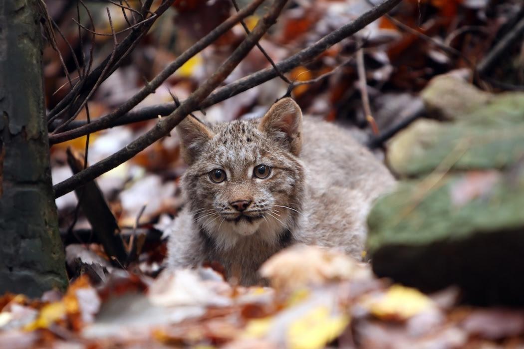 Canada lynx kitten pc Megan Lorenz AdobeStock