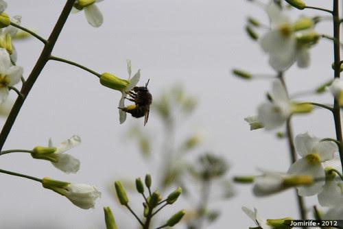 Abelhas a tirar o pólen das flores (6)