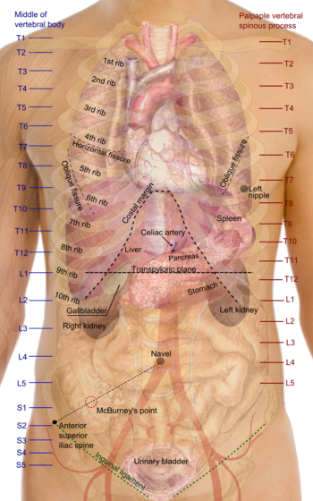 Diagram Showing Human Kidney Anatomy Manual Guide