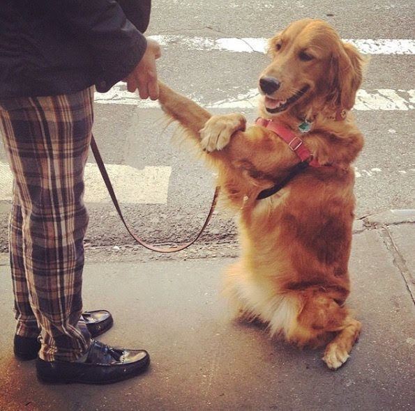 This friendly golden dog stops and cuddles everyone you see on the street