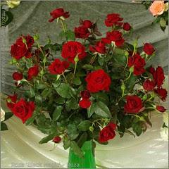 Rosa 'Black Magic' - Róża