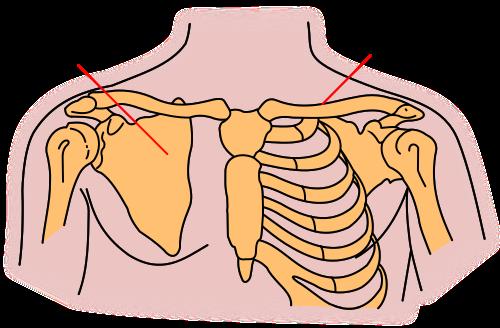 clavicle, scapula