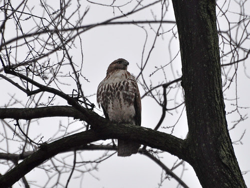 Young Red-Tail in the Ravine