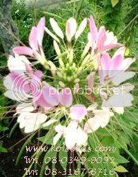 เมล็ดพันธุ์ดอกผักเสี้ยนฝรั่ง