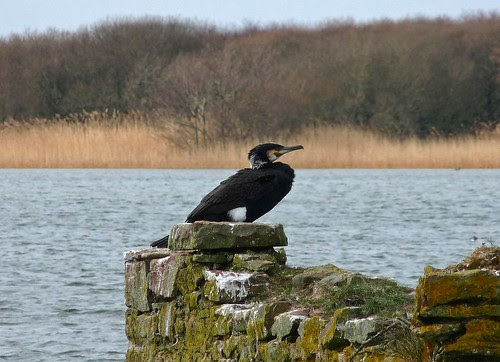 12117 - Cormorant at Kenfig NNR