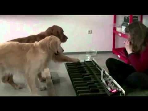 INCREÍBLE: Perros tocan un Piano!