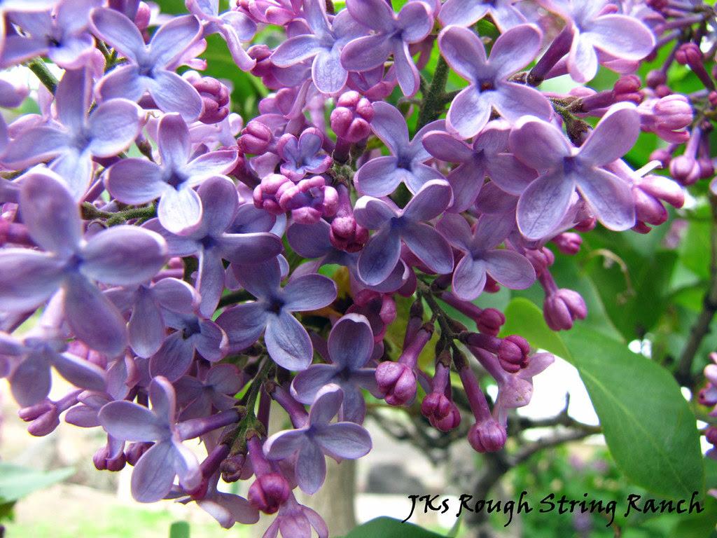 Lavender Lilac