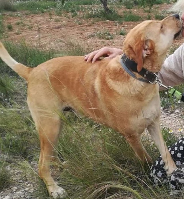 Brad – 4 year old male Spanish Mastin cross Labrador