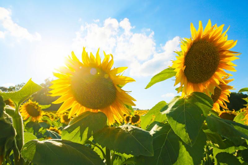 Sunflower Fields in Bloom in Kansas | Kansas Farm Food ...