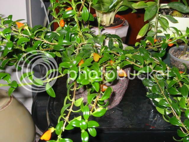 columnea goldfish plant. goldfish plant care.