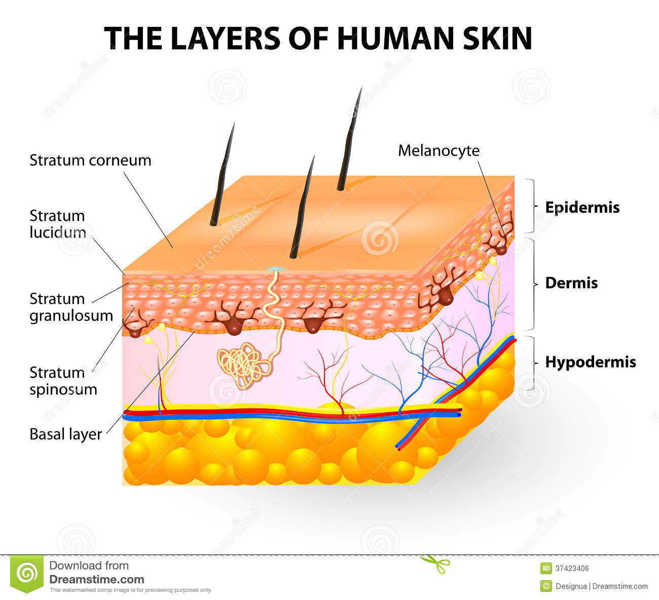 layers human skin melanocyte melanin epidermis melanocytes produce pigment which can then transfer to other 37423406