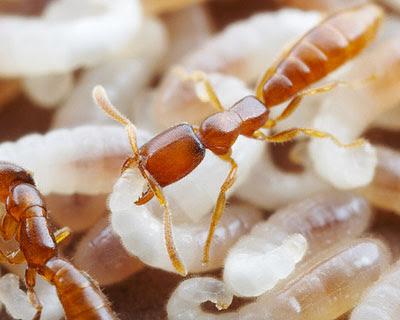 Semut drakula (Adetomyrma)