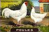 poules 3