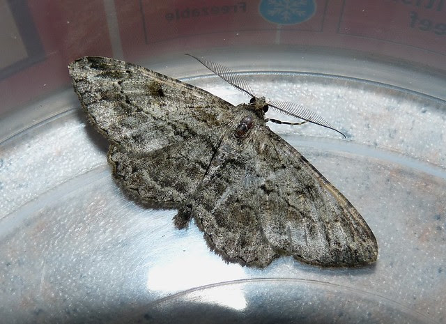 24863 - Mottled Beauty