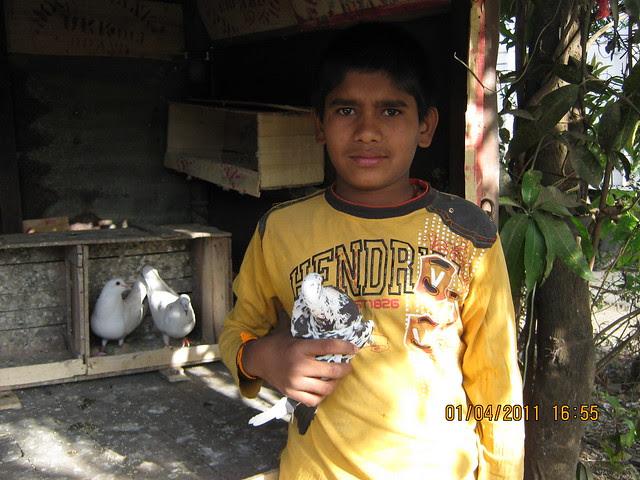 Fancy Pigeons of Kanhe -  on the way to Dajikaka Gadgil Developers' Anant Srishti at Kanhe, near Talegaon, Pune