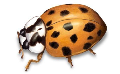 Eliminate Lady Beetles (Lady Bugs) in MN   Rainbow Pest Experts