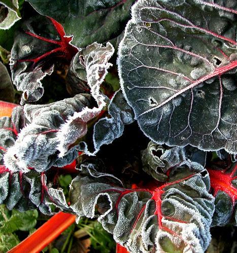 leaf beet (frosty)