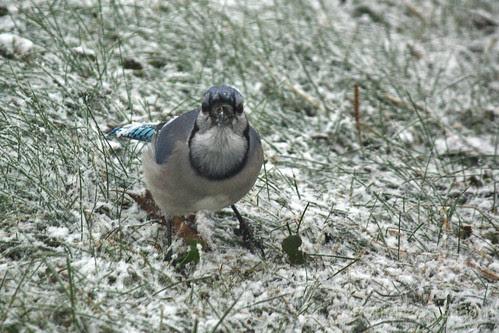 Blue Jay-3.jpg