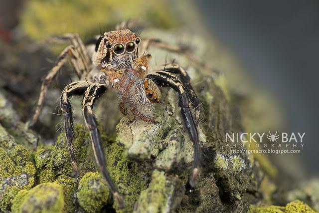 Jumping Spider (Salticidae) - DSC_4903