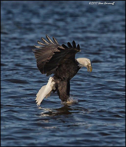 Bald Eagles1sb8620 Bald Eagle Catching Fish