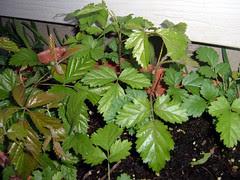 DewberryPlants