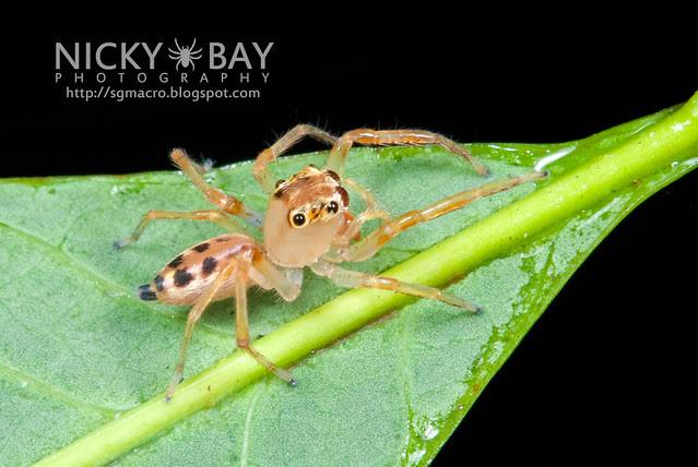 Jumping Spider (Bavia aeroiceps) - DSC_1388