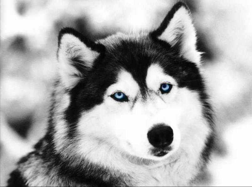 Tudo Sobre Lobo Conheça As Diferenças Entre Os Lobos E Os Cães