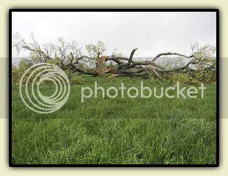 Fallen Oak in Sharon