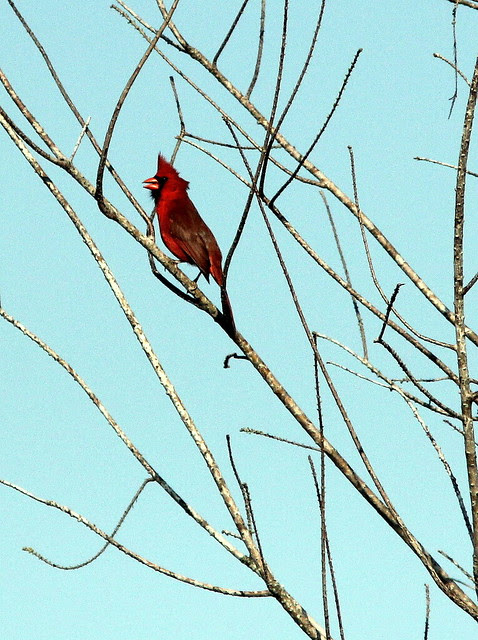 Northern Cardinal 20130406
