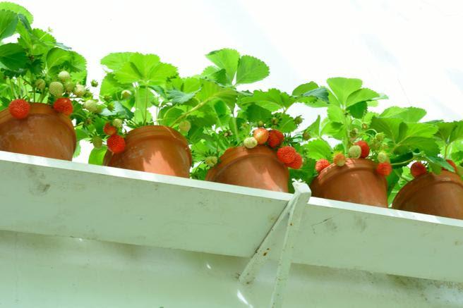 Los fresones pueden cultivarse en tiestos en cualquier balcón