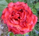 Rose Fritz Walter