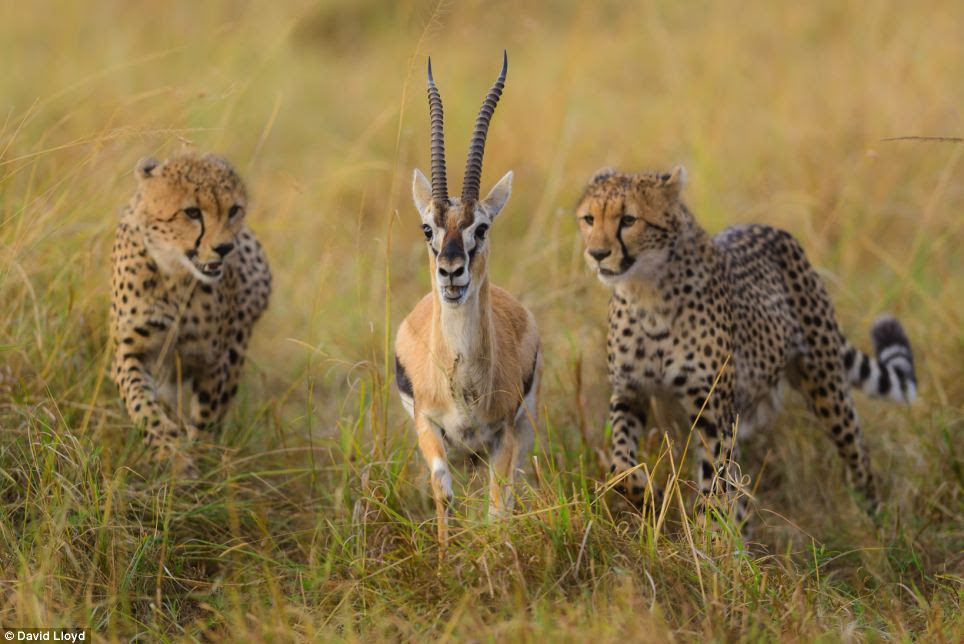A gazelle, seconds from death, looks terrified as it pursued by a pair of cheetahs in one of a series of stunning nature photographs taken in the Masai Mara, Kenya, by photographer David Lloyd