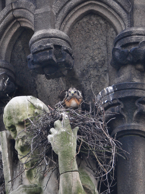 St. Andrew and the Red-Tail Nestling