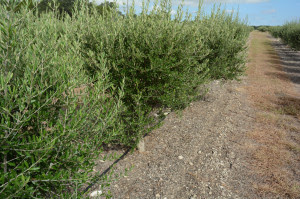 A seminar on olive production and management in Texas will be held Dec. 15 in San Antonio. (Texas A&M AgriLife Extension Service photo by Kathleen Phillips)