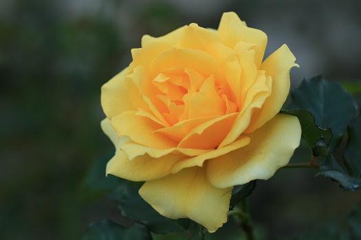 秋の黄薔薇 シンディの過去 現在 未来 楽天ブログ