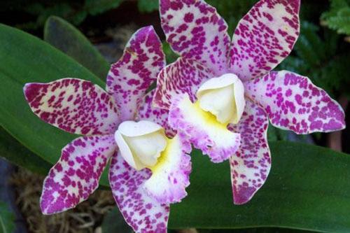Gambar  bunga  anggrek  ungu putih cantik by himevitta on