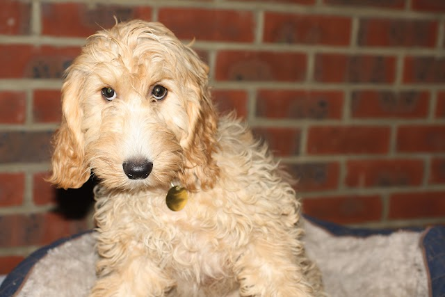 Wookie – 6 month old male Cockapoo