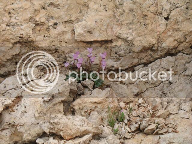 Israeli wild flowers 2