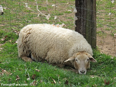 Sheep Freedom Day (13) - Urp. - FarmgirlFare.com