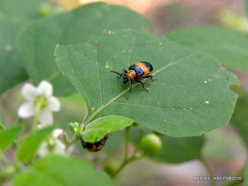 Lema Leaf Beetle