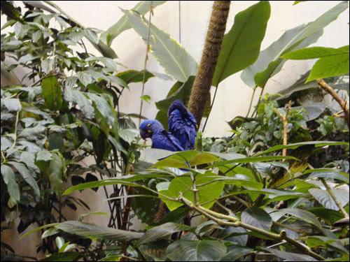 Montreal Biodome: Hyacinth Macaws