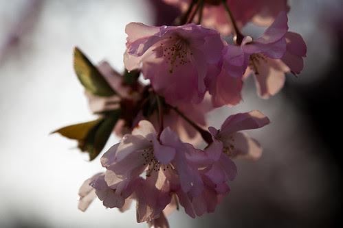 Cherry Blossoms Light to Dark
