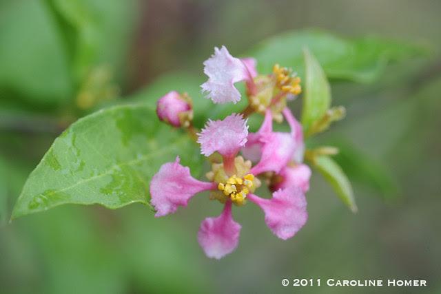 Barbados Cherry blossom