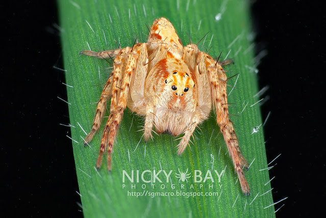 Lynx Spider (Oxyopidae) - DSC_2524