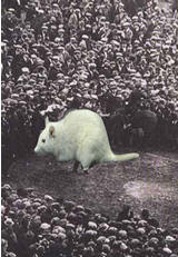 Scenes from football history: White Rat Final